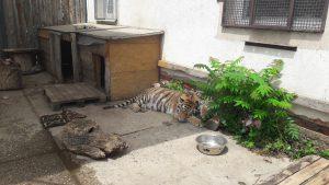 oaza tigra 1