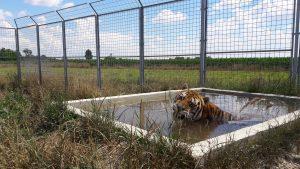oaza tigra 8