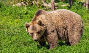 Čierny Balog: být návnadou na medvědy